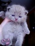 шотландские котята,  родословная. Сумы