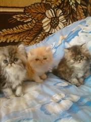персидские котята экстремалы и класики