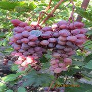 Комплексноуст. столовые,  бессемянные  сорта винограда