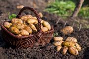 купить картофель  семенной для посадки