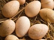 яйцо утиное икубационное
