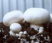 Компания реализует маточный мицелий грибов