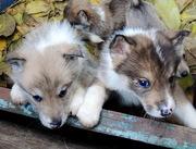 продам щенков западно сибирской лайки