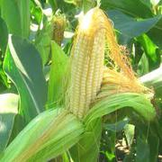 Продам  кукурузу(зерновая 15)