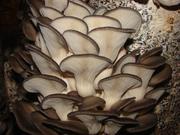 мицелий вешенка грибы выращивание Сумы