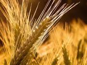 =купим подсолнечник,  рапс,  пшеницу,  сою,  кукурузу,  ячмень=