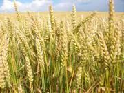 куплю пшеницу,  рапс,  кукурузу,  сою,  ячмень,  подсолнечник