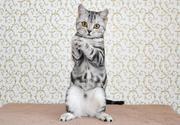 Шотландские котята. Сумы.