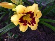 Садовые многолетние цветы из Цветочного дома Руфь почтой!