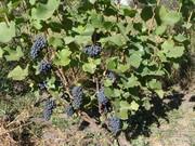 Саженцы технического(винного) винограда Пино Нуар.