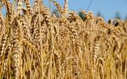 Зерносуміші,  зерновідходи,  зернові куплю