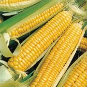 Закупаем кукурузу с любой влажностью