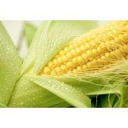 Куплю кукурудзу,  будь-яка вологість,  будь-які обсяги