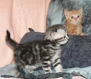 шотланские вислоухие и прямоухие котята